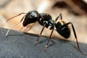 A close up of a black ant.