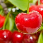 Photo of cherries hanging on a cherry tree.