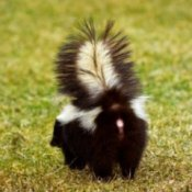 A skunk getting ready to spray.