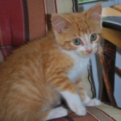 Ginger the Orange Kitten on a Striped Chair