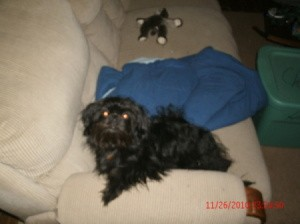 Longhaired black dog on couch.