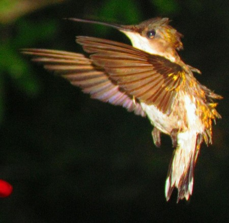 Closeup of Hummingbird in Flight