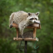 Raccoon Getting into Birdfeeder
