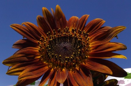 Brown and Orange Sunflower with Blue Sky