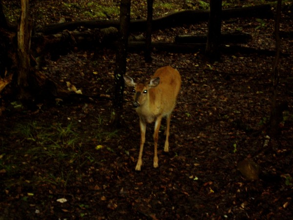 Deer alone in the Woods