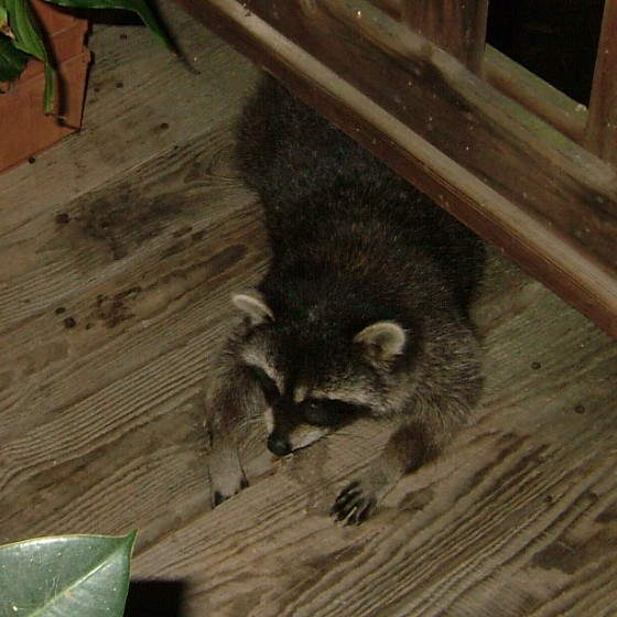 A close up of a friendly raccoon.