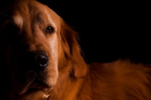 Golden Retriever on Black Background