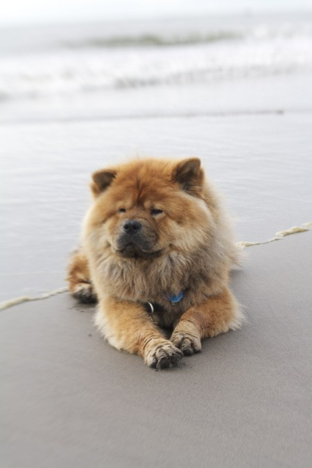 Chow lying on the beach.