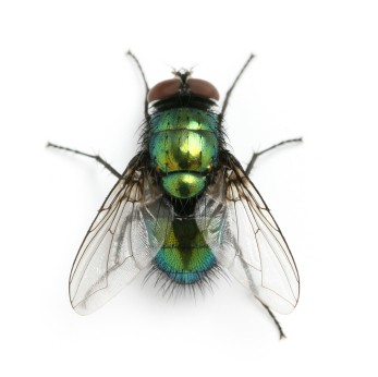 A close up of a black house fly.