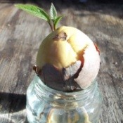 Plump Avocado Seed Rooting into Jar