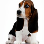 Cleaning Your Dog's Ears, A basset hound puppy with long brown ears.