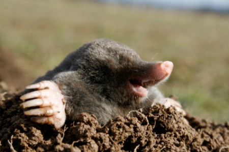 Mole Digging Out of Hole into Open Air