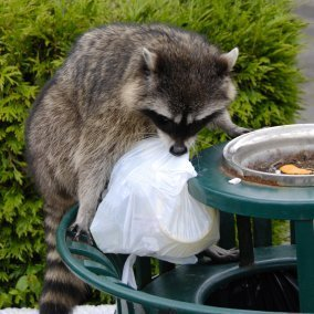 Raccoon in park trash bin with plastic bag in its mouth.