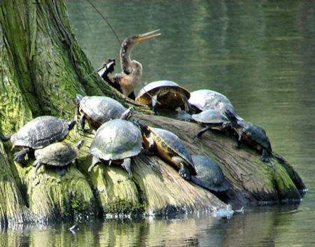 Cormorant and Turtles Sunning Themselves on Cypress Roots