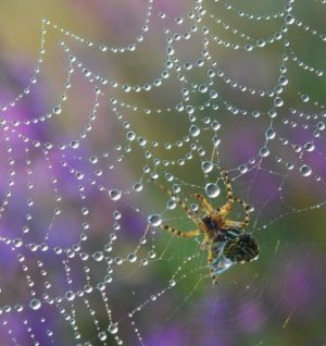 Spider on web with dew drops on it.