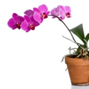 Beautiful fuschia colored orchid in pot against white background