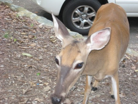 Deer Very Close to Camera in Parking Lot