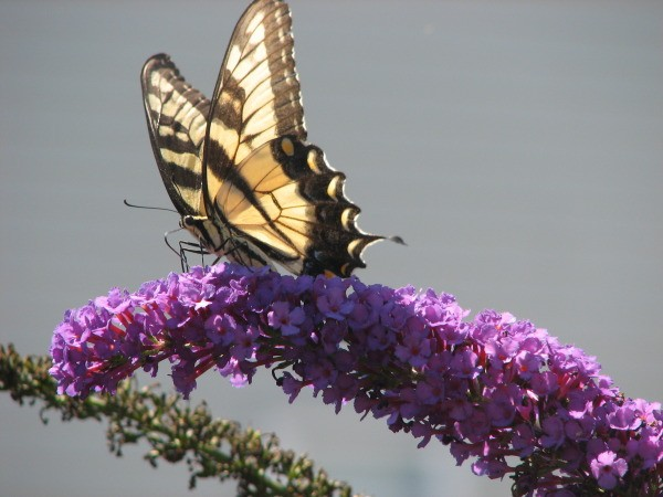Butterfly on on Purple Flowers
