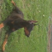 Sauer Sig D'Coursey the Doberman