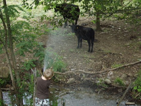 Boy Spraying Water on Cows