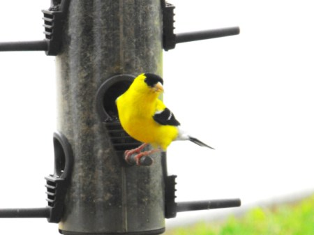 American Goldfinch Facing Camera on Birdfeeder