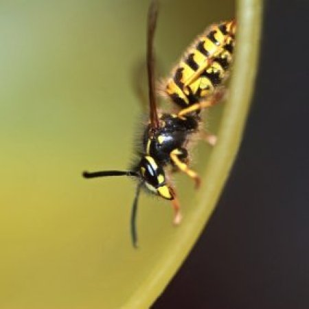 Wasp inside a plastic cup.