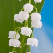 Closeup of lily-of-the-valley flowers against green of leaves and blue sky.