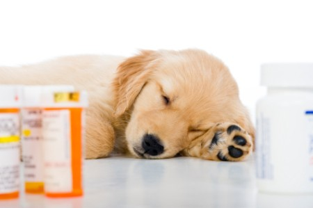 Medication for a sick Golden Retriever puppy.