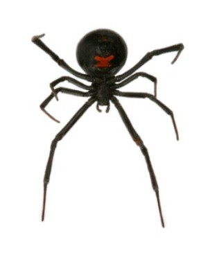 underside of Black Widow Spider