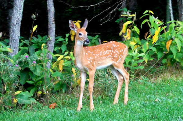 baby whitetail fawn in - photo #22
