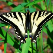 Large Yellow and Black Butterfly