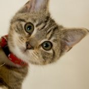 Striped kitten with red collar.