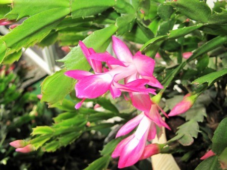 Closeup of Pink and White Christmas Cactus Flower