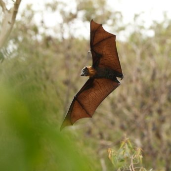Bat flying over a field.