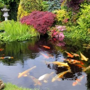 Preparing Your Pond For Winter, A koi pond with plants around the edge.