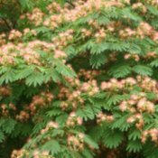 Up close photo of a Mimosa tree.