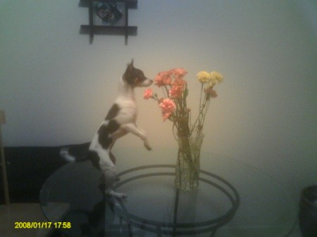 Millie Standing up to Look at Flowers on Glass Table