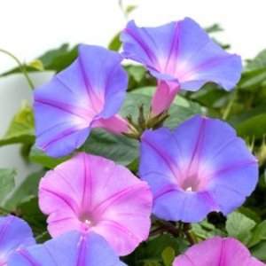 Blue and pinkish purple morning glory blooms.