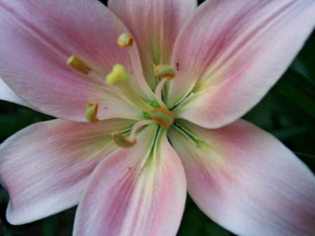 Closeup of Pink and White Lily Bloom