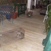 Raccoon in a live trap cage.