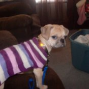 Honey Pot the Dog in a Striped Sweater
