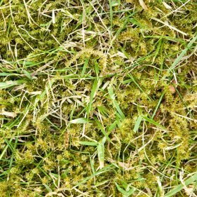 Lawn being replaced by moss.
