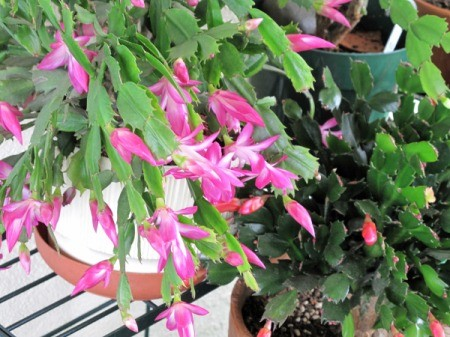 Large Pink Christmas Cactus