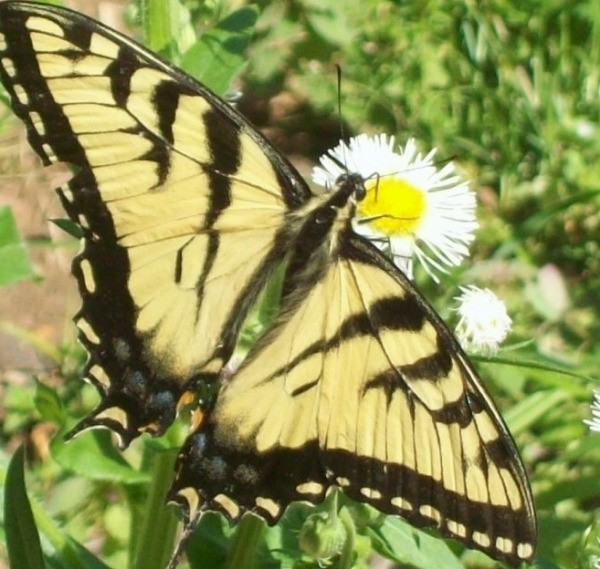 Large Yellow and Black Butterfly on a Flower