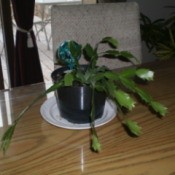 Christmas cactus in small plastic pot.