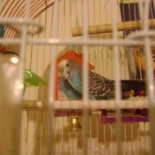 Blue parakeet in a cage.