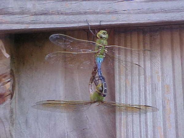 Dragonflies Mating Hanging From Fence