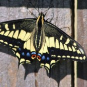 Large Swallowtail Butterfly on Fence