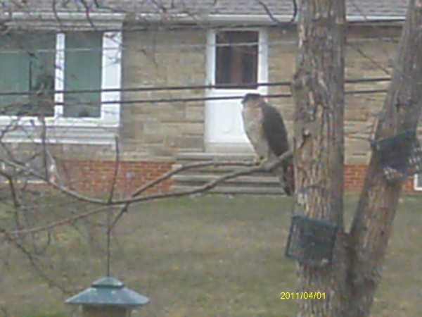 Falcon Sitting at Bird Feeder