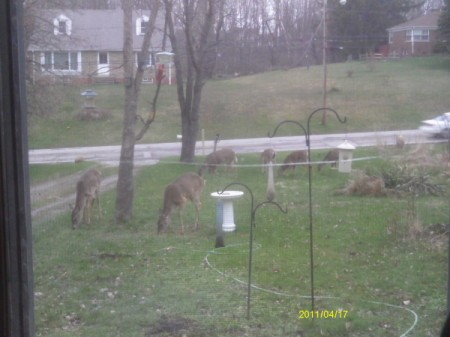Looking out Window at Five Deer in Yard